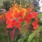 石垣島で知る「沖縄三大名花」