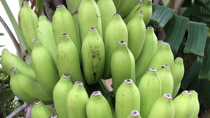 石垣島にある色んなバナナを集めてみた
